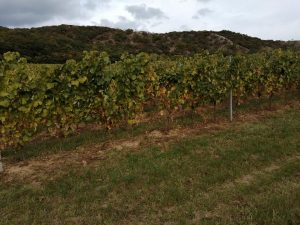 Orondi-szőlők