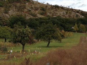Aranyhegyi-szőlők
